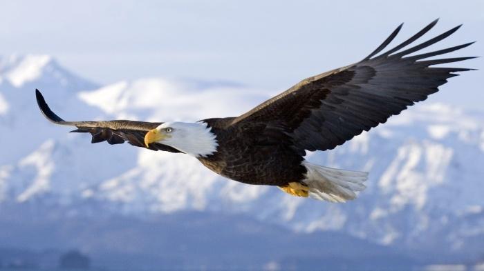 aguia-americana-8