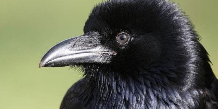 corvo1